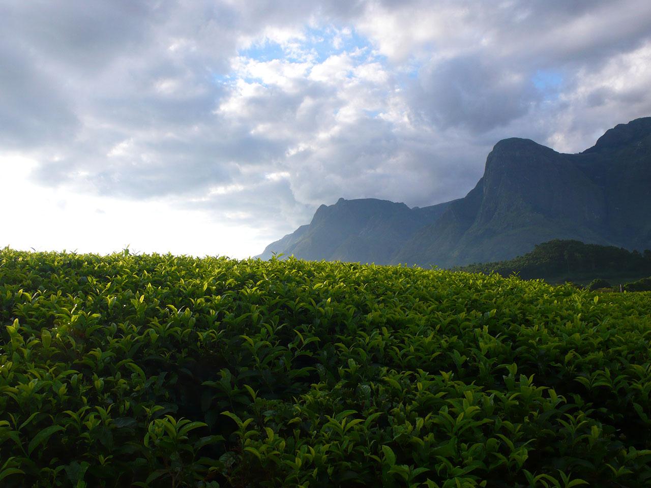Mount Mulanje Malawi Tea