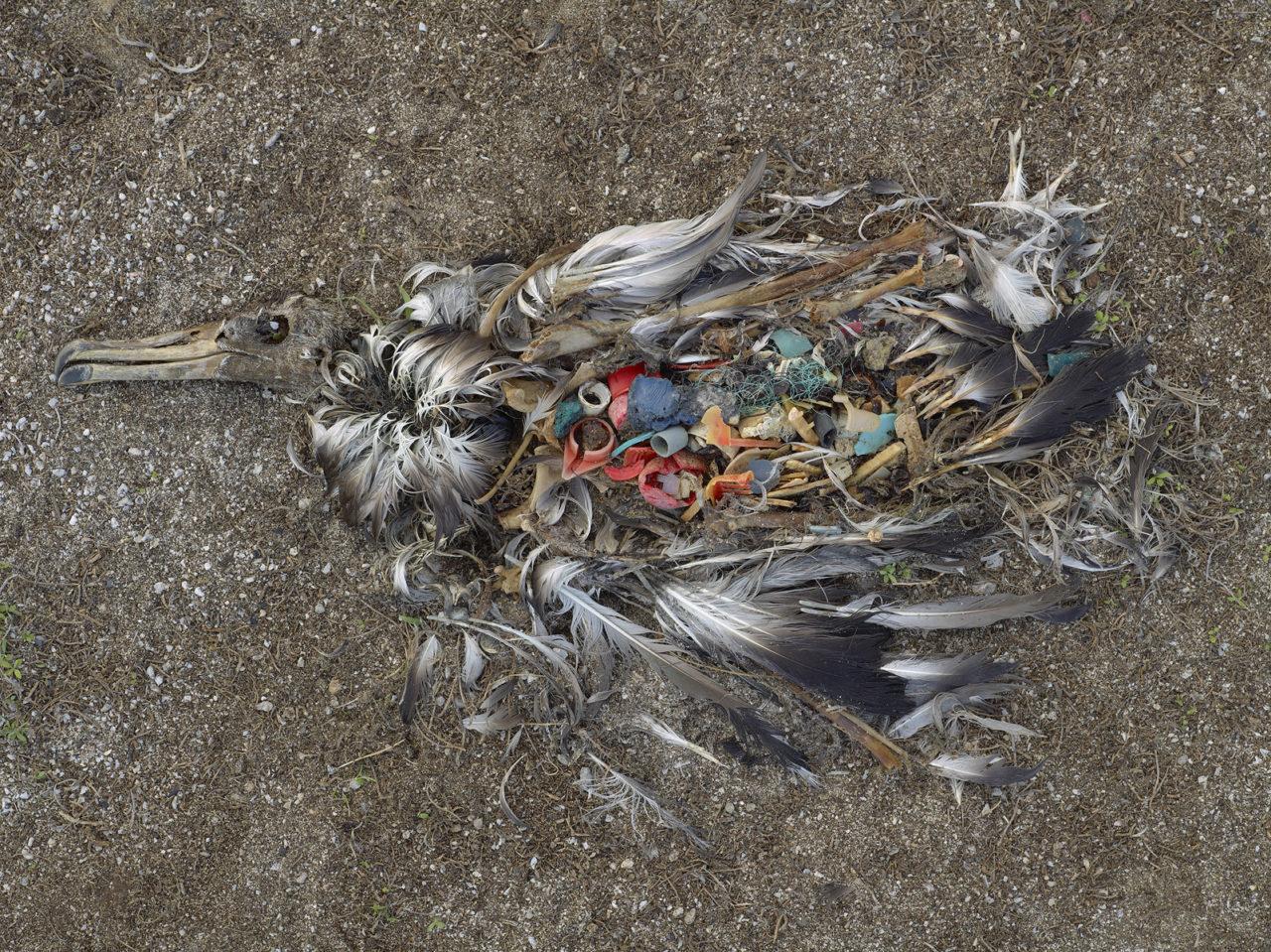 albatross_chick_ocean_plastic_chris_jordan