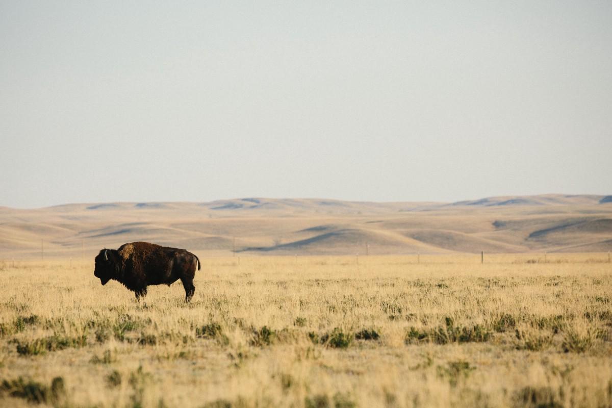 patagonia_provisions_bison_regenerative_farming