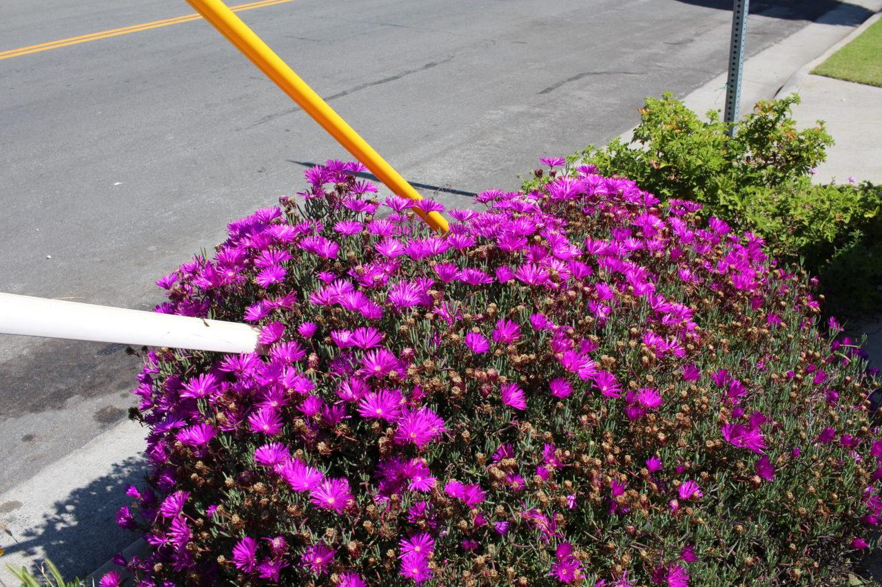 los_angeles_kensington_road_bloom